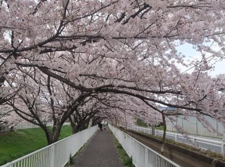 20110415_sakura_douri4