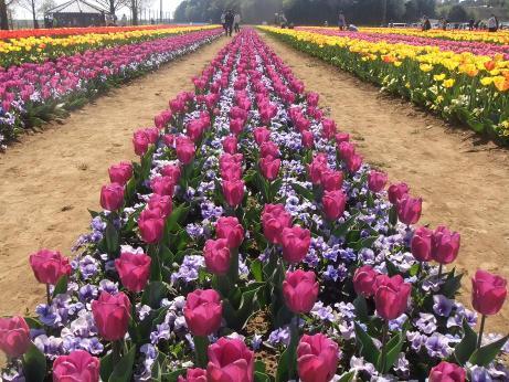 20110420_tulip4