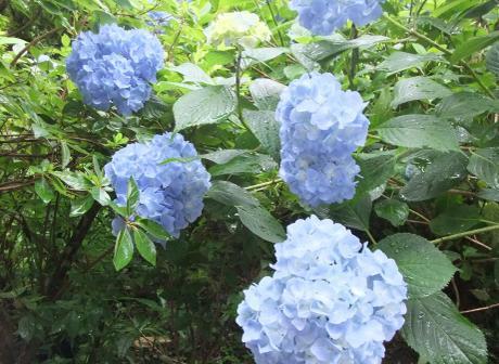 20110705_ajisai5