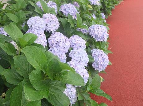 20110706_ajisai1