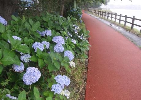 20110706_ajisai2