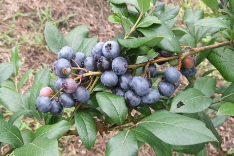 20110815_blueberry_mori6