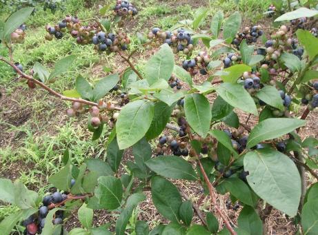 20110815_blueberry_mori7