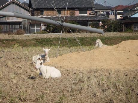 20111220_hitsuji1