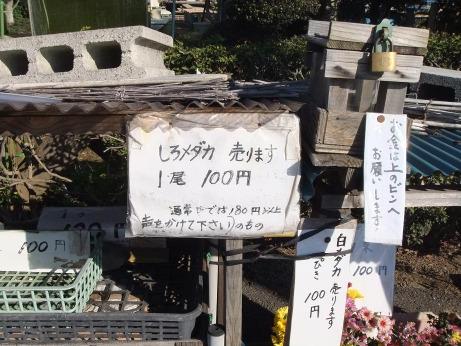20111223_shiro_medaka