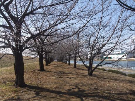 20120313_sakura_tree