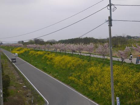 20120528_sakura_namiki1