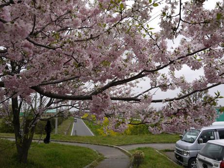 20120528_sakura_namiki2