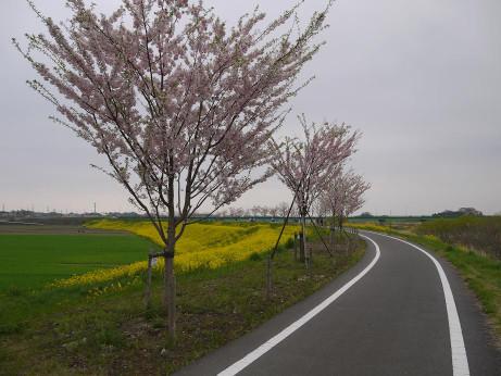 20120528_sakura_namiki4