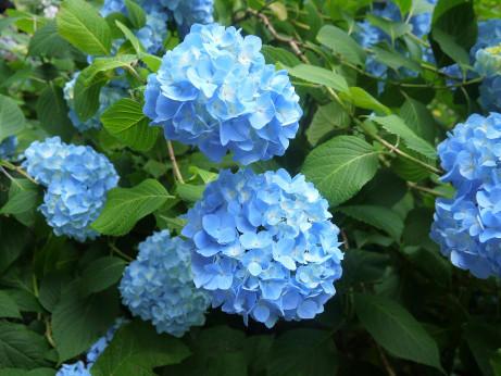 20120627_ajisai1