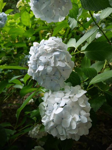 20120628_ajisai04
