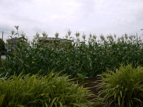 20120715_toumorokoshi