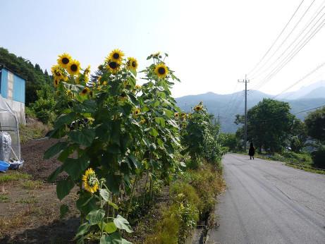 20120814_himawari1