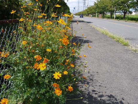 20121004_kosumosu
