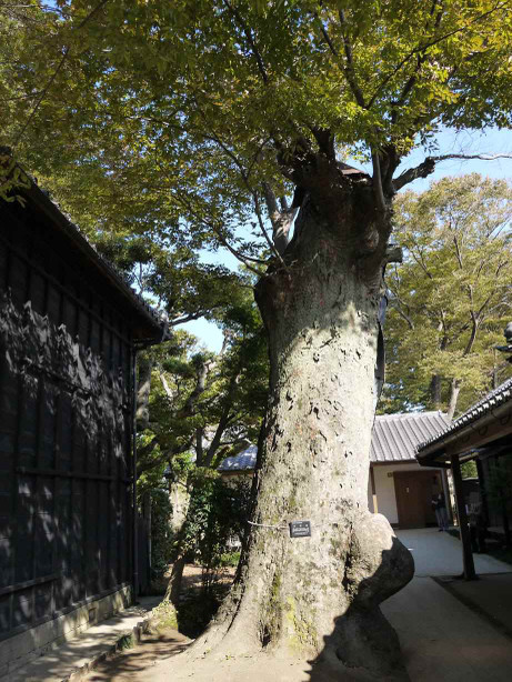 20121205_keyaki