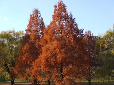 20121222_metasequoia4