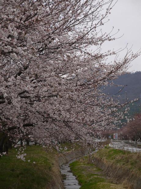 20130409_sakura1