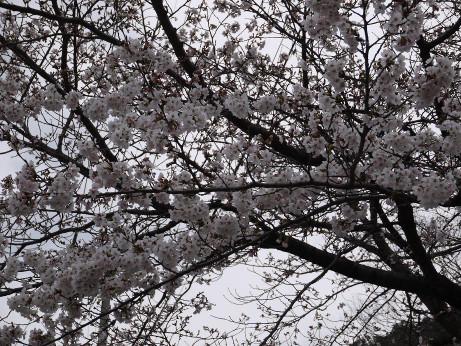 20130417_sakura