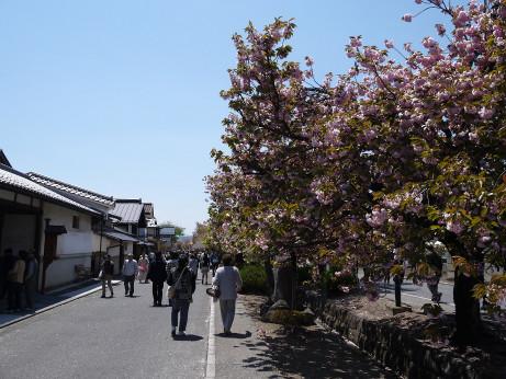 20130520_yaezakura4