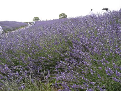 20130705_lavender01