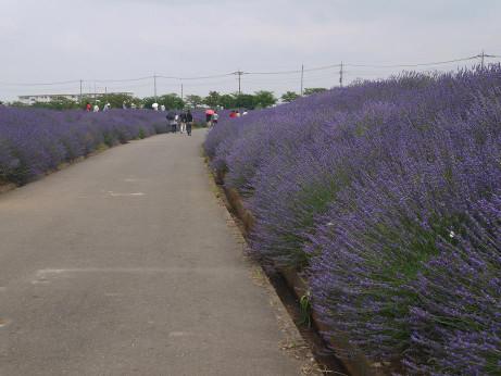 20130705_lavender04