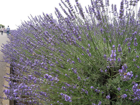 20130705_lavender06