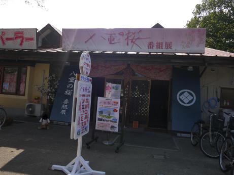 20131017_yaenosakura