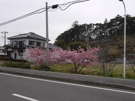 20140323_sakura
