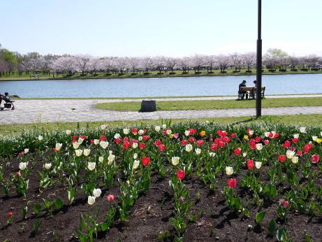 20140408_tulip1