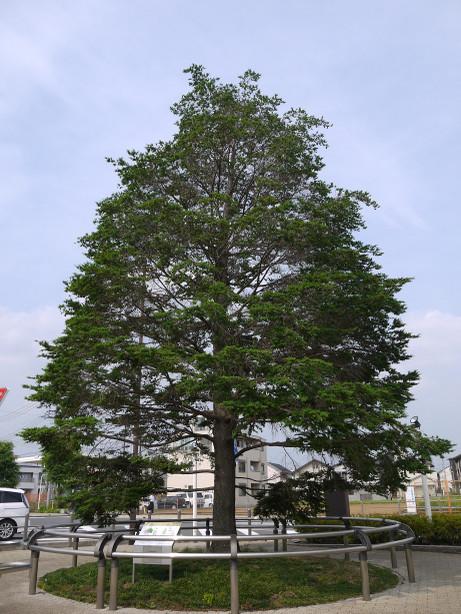 20140711_tree