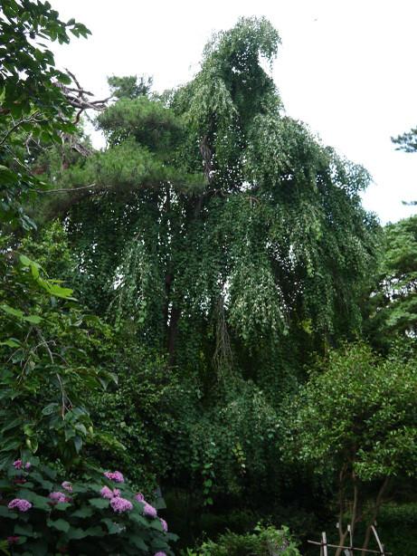 20140809_tree2
