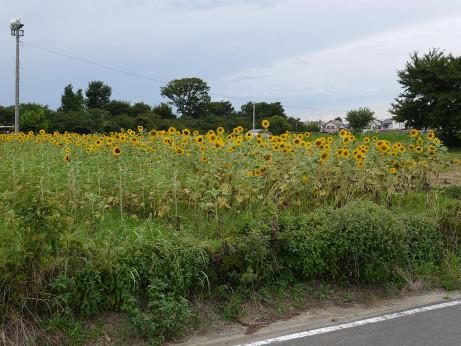 20140826_himawari04