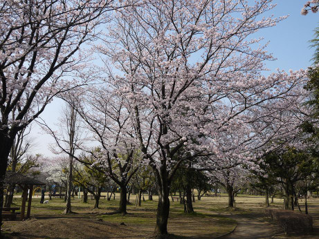 20150404_waseda_sakura_03