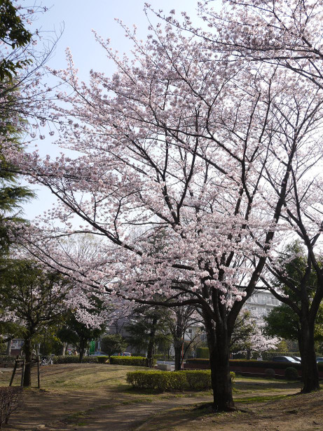 20150404_waseda_sakura_04