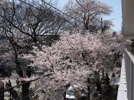 20150405_tokiwadaira_sakura_06