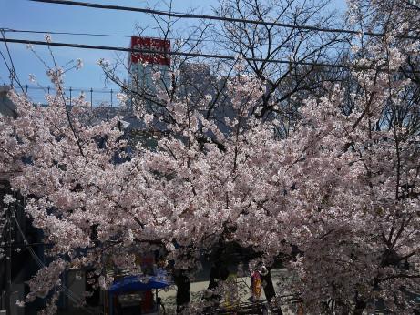 20150405_tokiwadaira_sakura_07