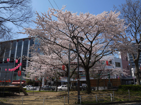 20150405_tokiwadaira_sakura_08