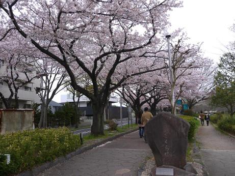20150407_sakura_06