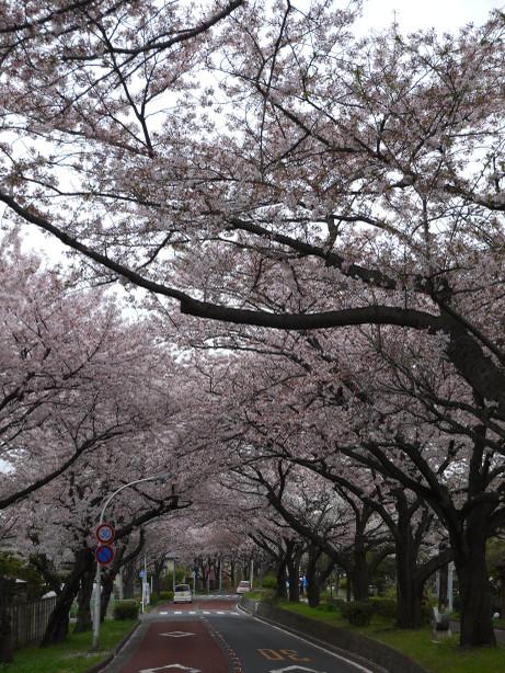 20150407_sakura_07