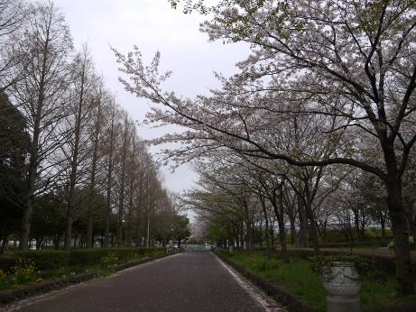 20150408_sakura_01