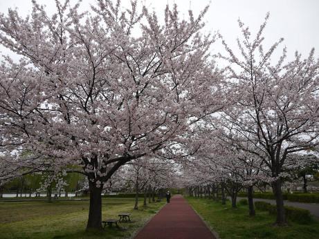 20150408_sakura_02