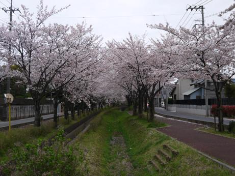 20150409_sakura_11