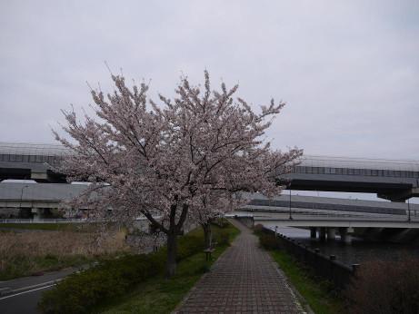 20150410_sakura_04