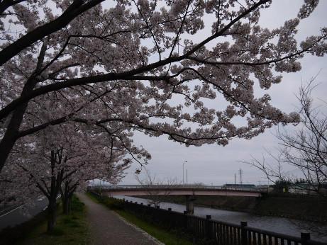 20150410_sakura_06