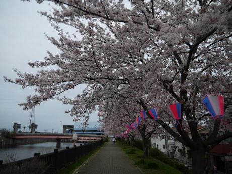 20150410_sakura_08