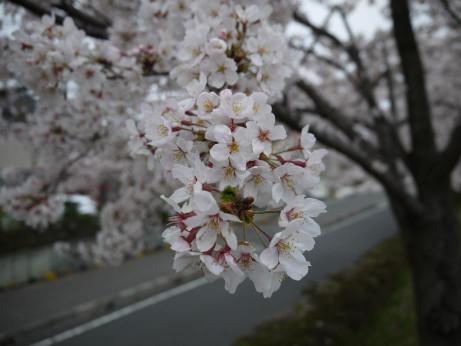 20150410_sakura_10