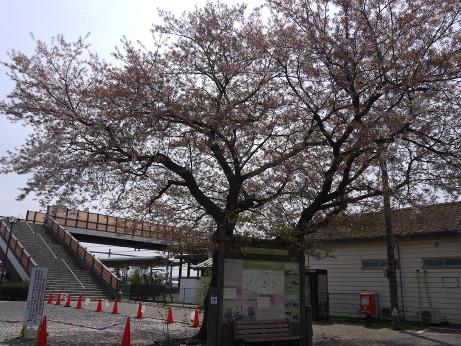 20150417_sakura