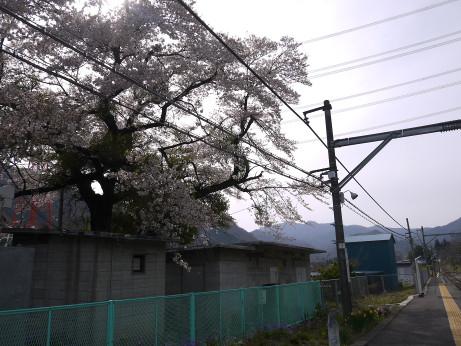 20150421_sakura_2