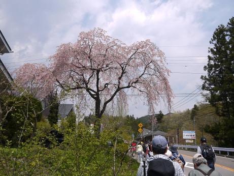 20150521_sidare_sakura_1