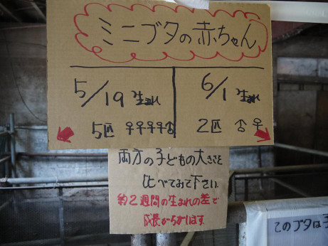 20150613_minibuta_info